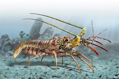 lobster-animal-magnificient-ocean-creatures-val-2015-final-web