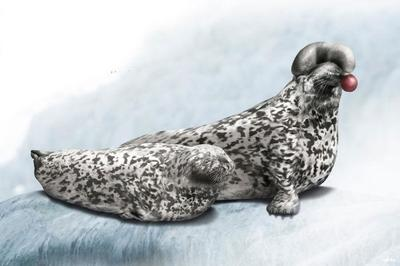 hooded-seal-animal-magnificient-ocean-creatures-val-2015-final-v2-web