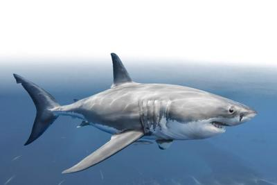 great-white-shark-animal-magnificient-ocean-creatures-val-2015-final-web-72dpi