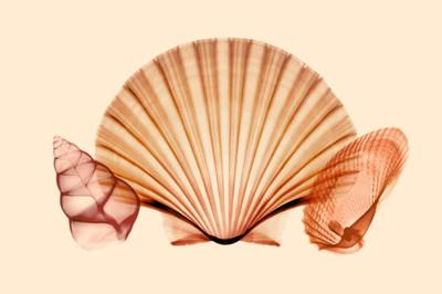 prints-shells-sea-opera-jpg